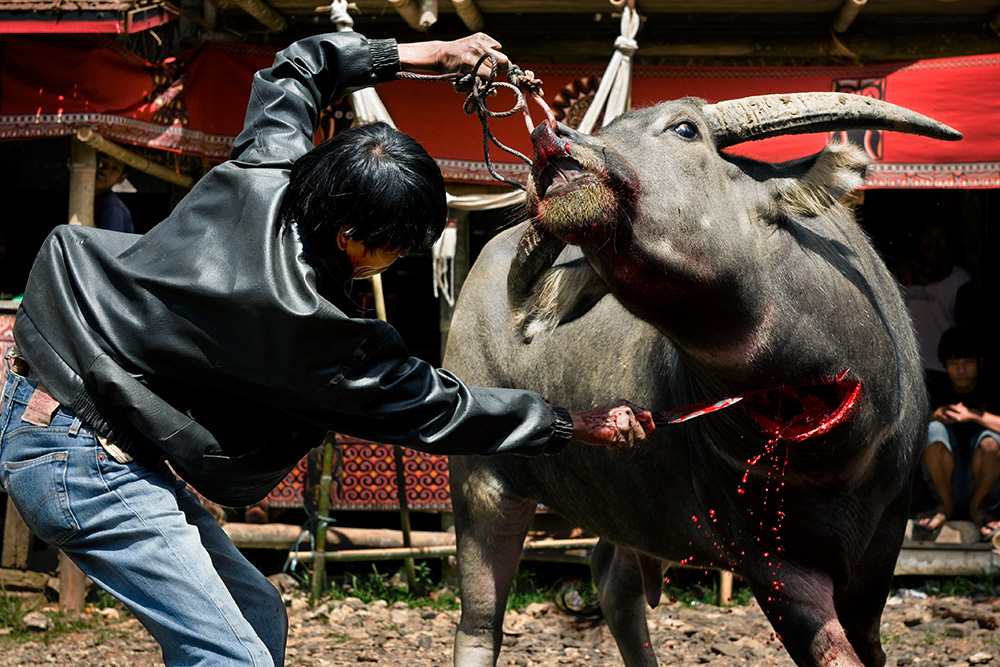 The most important part of a funeral ceremony in Tana Toraja region is sacrificing water buffalos. The more powerful the person who died and the more wealthy the family, the more buffalos are slaughtered at the death feast.